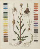 Hayne, Friedrich Gottlob - Termini Botanici