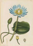 Botanische Tafelwerke - Andrews / Paul / Maund - 3 botanische Werke