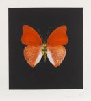 Hirst, Damien - Butterfly