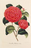 Ambroise Verschaffelt - Iconographie des Camellias. 13 in 7 Bänden