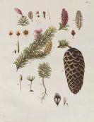 Johann Simon Kerner - Beschreibung und Abbildung der Bäume und Gesträuche
