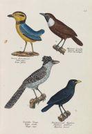 Heinrich Rudolf Schinz - Naturgeschichte und Abbildungen der Vögel-Gattungen