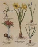 """Basilius Besler - 4 Bll.: Scabiosa / Valeriana / Paeonia / Narcissus. Aus """"Hortus Eystettensis"""""""