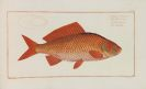 Marcus Elieser Bloch - Kupfer zu Dr. Bloch's oeconomische Naturgeschichte der Fische Deutschlands