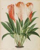 "Pieter Joseph de Pannemaeker - 309 Orig.-Aquarelle und 3 Orig.-Bleistiftzeichnungen zu ""Originaux de publications d´horticulture et d´arboriculture"""