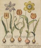 Basilius Besler - Tulipa lutea virgulis oblongi (&) Tulipa alba (&) Tulipa lutea irrorata