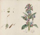 Wilkinson, Elizabeth Jane - Botany of Great Britain after J. Sowerby. Handschrift mit Pflanzenaquarellen. 2 Bände