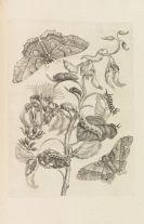 Maria Sibylla Merian - Veranderingen der surinaamsche Insecten
