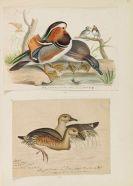 Heinrich Gottlieb Ludwig Reichenbach - Sammelband mit ornithologischen Orig.-Zeichnungen