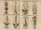 Thomas Pancovius - Herbarium