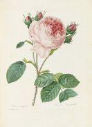 Redouté, Pierre Joseph - Choix des plus belles fleurs et des beaux fruits. 135 plates plus 5 loosened