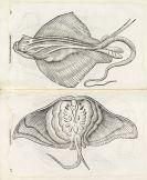 Aldrovandi, Ulisse - De piscibus libri V. Dabei: Ders. Historia naturalis